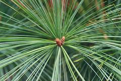 Hanabi (Jetcraftsofa) Tags: nikonf3 micronikkor5528 vista200 35mm slr filmphotogtraphy conifer pine matsu regeneration available light haru spring hanabi