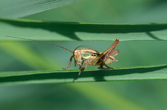 (ErrorByPixel) Tags: macro blades grass k5 green animal insect nature pentax