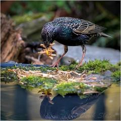 IMG_8697 (Derek.S) Tags: starling greedy reflection