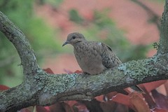 Oh...What A Beautiful...Cloudy Morning (ACEZandEIGHTZ) Tags: mourning dove bird tree bokeh nikon d3200 macroura zenaida birdwatcher backyard coth coth5 sunray5