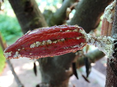 Ants tending mealybugs on a young cacao pod (Plant pests and diseases) Tags: theobroma cacao ants insects young pod tending infecting infestation parasites mealybugs colony