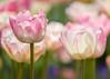 Tulips (mclcbooks) Tags: flower flowers floral macro closeup tulip tulips spring bulbs denverbotanicgardens colorado