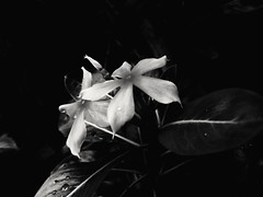 #Flowers........ #Wallpaper...... (argharaha123456) Tags: wallpaper flowers backgrounds beautiful photography ogq nature blackwhite