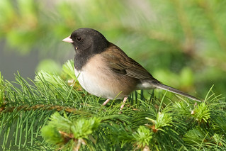 Dark eyed junco, male