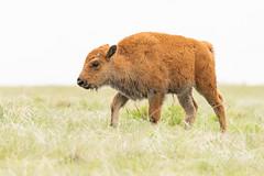 American Bison calves