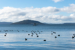_1030132 (David Perry Photography) Tags: animals birds blog blue colours ducks lake nature rotoura water