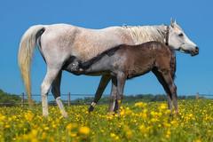 Mother and Daughter (FocusPocus Photography) Tags: pferd horse araber arabian arab fohlen foal weide pasture butterblumen buttercups wiese meadow marbach hauptundlandgestüt rasse breed stute mare