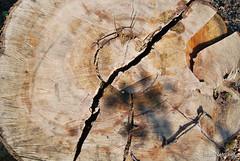 Зріз дерева InterNetri 4