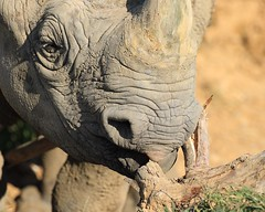 Just a quick nibble before dinner. (joannekerry) Tags: rhinoceros blackrhino rhino wildlife yorkshirewildlifepark canon