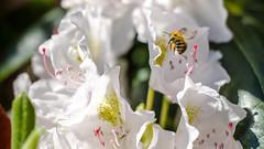 Bee (Chris. W) Tags: bee manchester macro honey