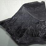 Cannel coal 1 thumbnail