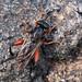Chalcosyrphus valgus, Brackvenn, Ostbelgien