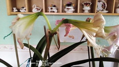 Amaryllis #27 Dying flowers up close on living room table 23rd May 2018 (D@viD_2.011) Tags: amaryllis 27 dying flowers up close living room table 23rd may 2018