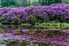Rododendrons.... (R.Z.fotografie) Tags: nunspeet netherlands natuur nature nopeople rododendrons bloemen kleurrijk water reflection