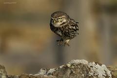 Hip Hop Hippy (Ross Forsyth - tigerfastimagery) Tags: birdofprey free hare little littleowl nature northumberland notcaptive owl uk wild wildlife wildandfree undisclosedlocation
