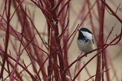 Black-Capped Chickadee On Branch Of Silver Leaf Dogwood Shrub 003 - Poecile Atricapillus (Chrisser) Tags: birds bird chickadees chickadee blackcappedchickadees blackcappedchickadee poecileatricapillus nature ontario canada canoneosrebelt6i canonef75300mmf456iiiusmlens paridae