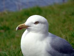 Seagull (stuartcroy) Tags: scotland inverness sealife seagull