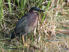 20180422 Green Heron (plumheadedfinch) Tags: birds pelecaniformes ardeidae butorides butoridesvirescens greenheron pennsylvania month04april 2018