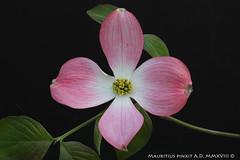 Cornus florida rubra L. (FlosPassionis) Tags: florida cornus rubra