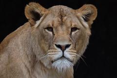 Kianga @ Artis 21-05-2017 (Maxime de Boer) Tags: kianga african lion lioness afrikaanse leeuw leeuwin panthera leo big cats katachtigen natura artis magistra zoo amsterdam animals dieren dierentuin gods creation schepping creator schepper genesis