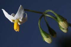 Solanum nigrum Linnaeus, 1753 = Solanum triangulare Lam., 1794, la morelle noire. (chug14) Tags: macro fleur flower plantae plante solanaceae morellenoire solanumtriangulare solanumnigrum unlimitedphotos