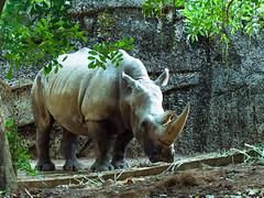 White Rhino (Johnson_Tsang) Tags: animals animal zoo zoos rhino rhinos