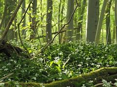 Bärlauch-Wald (michaelmueller410) Tags: harz hainholz bärlauch wald grün blüten blühen forest woods beech trees buchen naturschutz allium ursinum garlic bear ramson buckrams leek totholz kraut herbs bloom blooming blossoms green spring frühling