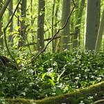 Bärlauch-Wald thumbnail