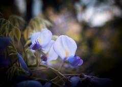The Blues (ursulamller900) Tags: pentacon2829 blue wisteria mygarden glyzinie bokeh blues