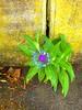 Wall Flower (Dan Daniels) Tags: flowers audand panasonic riehenbsch switzerland weeds sidewalks walls wallflowers