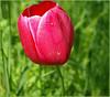 Tulipan im Britzer Garten! (magritknapp) Tags: flora 7dwffauna tulpe gräser bugabritzergarten berlin tulip grasses herbes de tulipes hierbas tulipán grama tulipa tulipani erbe tulpen grassen tulpan gräs græs tulipany trawiaste macro