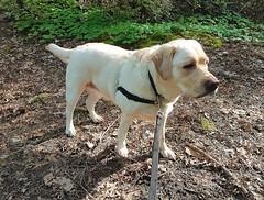 Gracie in morning sun (walneylad) Tags: gracie dog canine pet puppy cute lab labrador labradorretriever may spring morning sun westlynn