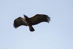 30apr18_Pomarina 03_Gura Vaii (Valentin Groza) Tags: acvila tipatoare mica aquila pomarina lesser spotted eagle transilvania transylvania romania bird prey