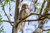 Dimboola Tawny (Cisc Pics) Tags: tawnyfrogmouth podargus podargusstrigoides bird tree eyes nature natural dimboola nikon nikkor d7000 dx australia victoria