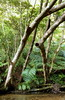 PASS A LOT OF ODD TREES ALONG THE RIVER BANKS.... (Okinawa Soba (Rob)) Tags: okinawa okinawaken ryukyu oku okuvillage northernokinawa okuriver stream fiver creek tributary falls waterfall waterfalls fallentrees