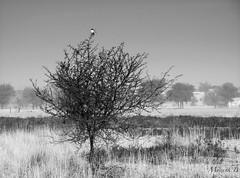 Untitled (Mayank Bhatnagar) Tags: blackandwhite bw shrike bird wildlifesanctuary talchapar taalchapar rajasthan india grasses textures tree composition layers nature churudistrict silverefexpro2 nikcollection affinityphoto lonebird