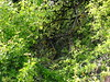 Smaragdeidechsen-Land (R.S. aus W.) Tags: lacerta bilineata smaragdeidechse eidechse echse lucertola lagarto halsbandeidechse biotop refugium niesche steilhang reptil reptilien herp herping herpetologie herpetology squamata lebensraum herpetofauna fauna