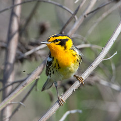 Blackburnian Warbler (Ed Sivon) Tags: america canon nature wildlife wild western southwest statepark texas bird