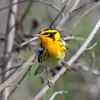 Blackburnian Warbler (Ed Sivon) Tags: america canon nature wildlife wild western southwest statepark texas bird