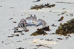 Cangrejo fantasma / Ghost Crab / Ocypode cordimanus (vic_206) Tags: cangrejo seychelles cangrejofantasma ghostcrab ocypodecordimanus