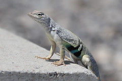 Texas Earless Lizard (gregpage1465) Tags: texas earless lizard texasearlesslizard greaterearlesslizard south llano river state park greg page gregpage reptile animal nature wildlife photo photography picture