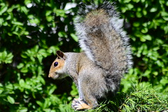 Are you following me ??? (Kay Musk) Tags: greysquirrel sciuruscarolinensis animal wildlife wild nature nikond3200 gardenwildlife goldwildlife greenery ngc