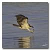 """Watch out...Here I come!"" (Roger Photos) Tags: nef osprey bird birds raptors jamesriver virginia"