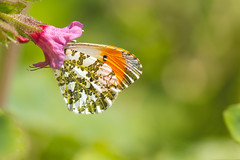 Feeding Orangetip (oandrews) Tags: anthochariscardamines butterflies butterfly canon canon70d canonuk garden insect insects invertebrate invertebrates minibeast minibeasts nature orangetip outdoors signsofspring spring springwatch wildlife