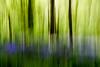 Bluebells in Westwood (Jazpix) Tags: nature flowers blue green trees dappledsun trunks bark abstract