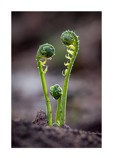 fiddlehead family