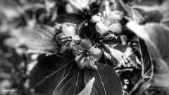 focus (Massimo Vitellino) Tags: flowers flora macro outdoors perspective plant delicate bloom hdr blackandwhite abstract contrast conceptual lights shadows nature