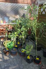 Überwinterte Chilis im Frühjahr (blumenbiene) Tags: chilipflanze chilipflanzen chili chilli chillie chilie plant plants pflanze pflanzen garten garden pepper peppers outdoor überwinterung overwinter hibernate überwintern