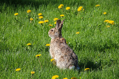 Visitor (Joanna Kurowski Photography) Tags: nature animals greengrass bunny outdoors dandelions wildanimal joannakphotos canon canon70d