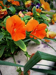 Pansies (Anna Gelashvili) Tags: pansies flower цветочки garden сад цветок flowers анютиныглазки plant soil почва ყვავილი ყვავილები leaf macro bright лист макрос яркий растение
